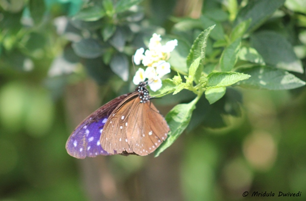 brown-blue-butterfly