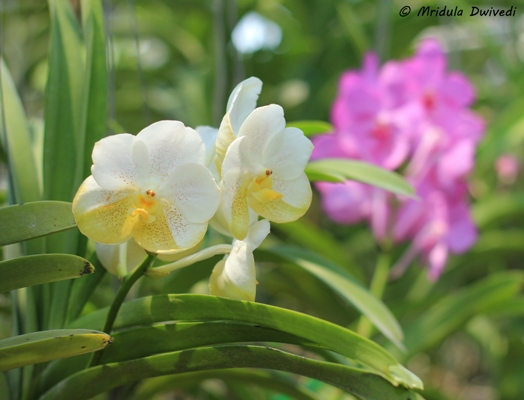 simply-orchid