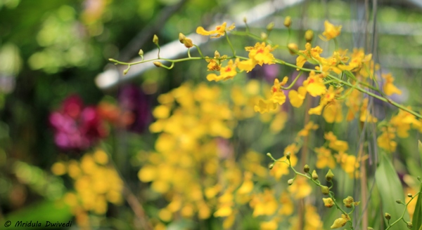 yellow-orchid