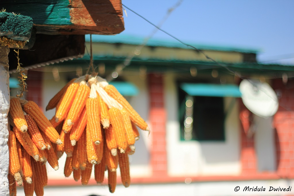 village-bhatoli-corn