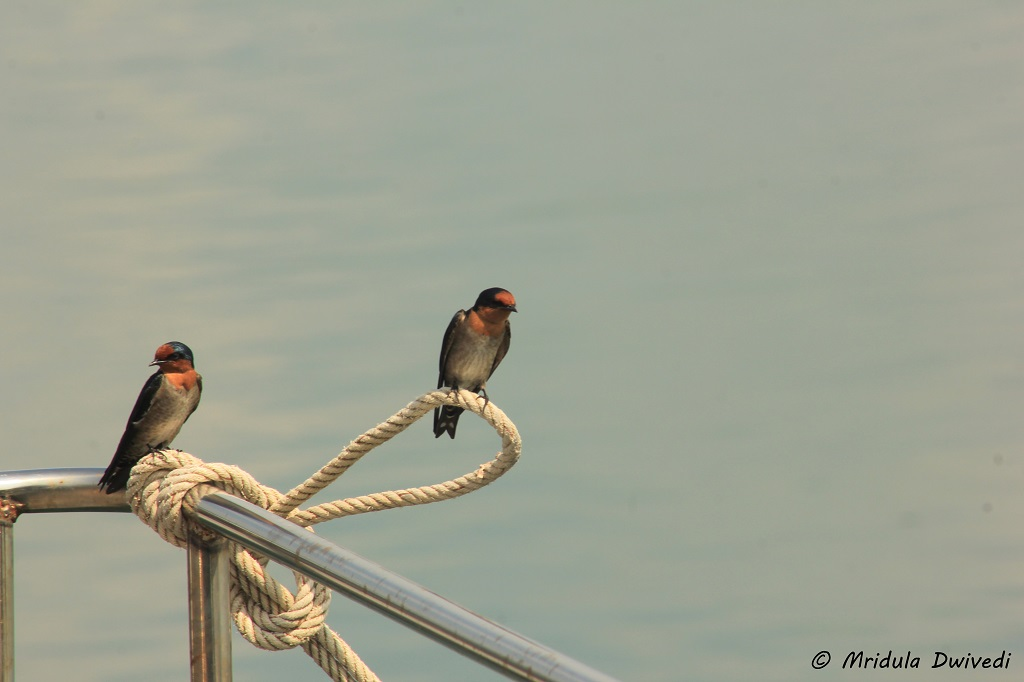 barn-swallows-chanthaburi