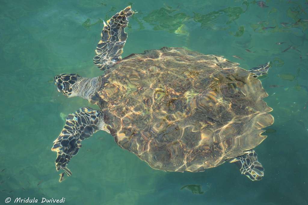 turtle-chanthaburi
