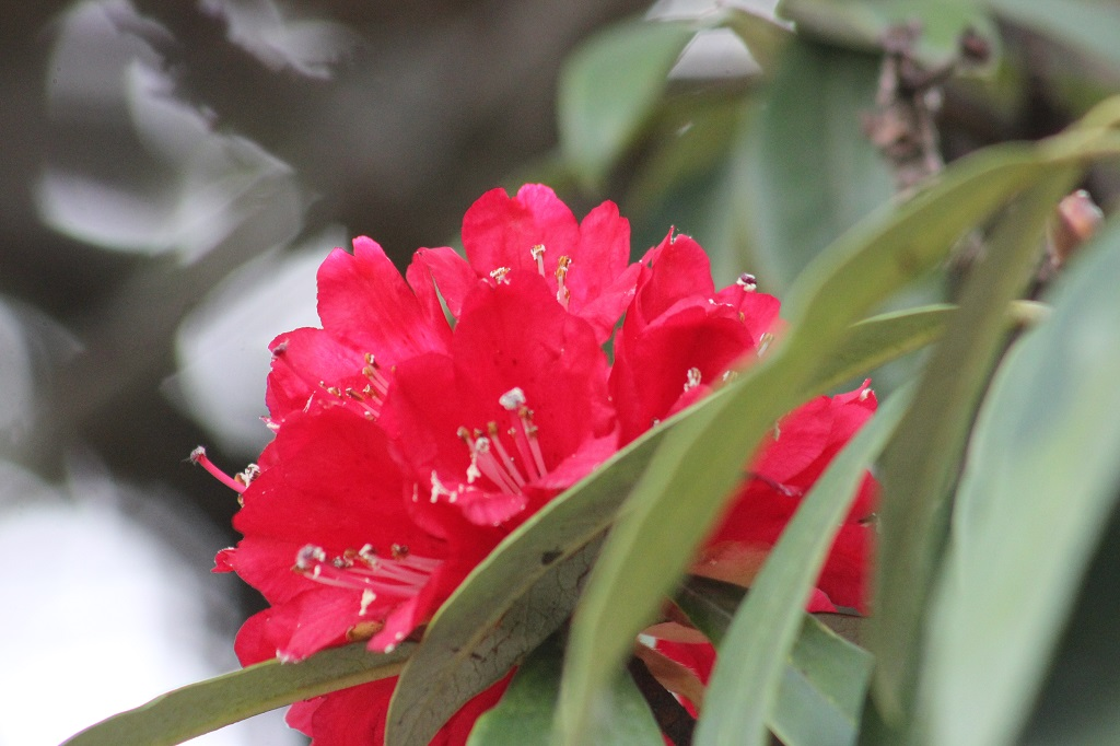 red-rhododenron