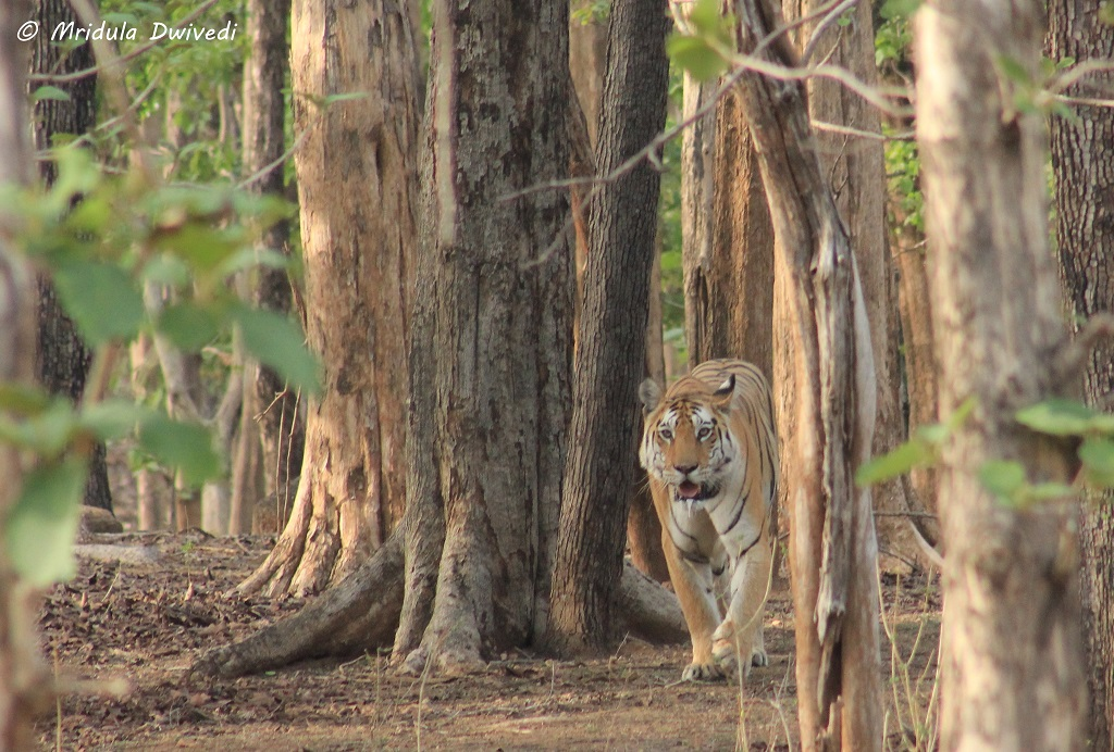 tiger-pench-national-park