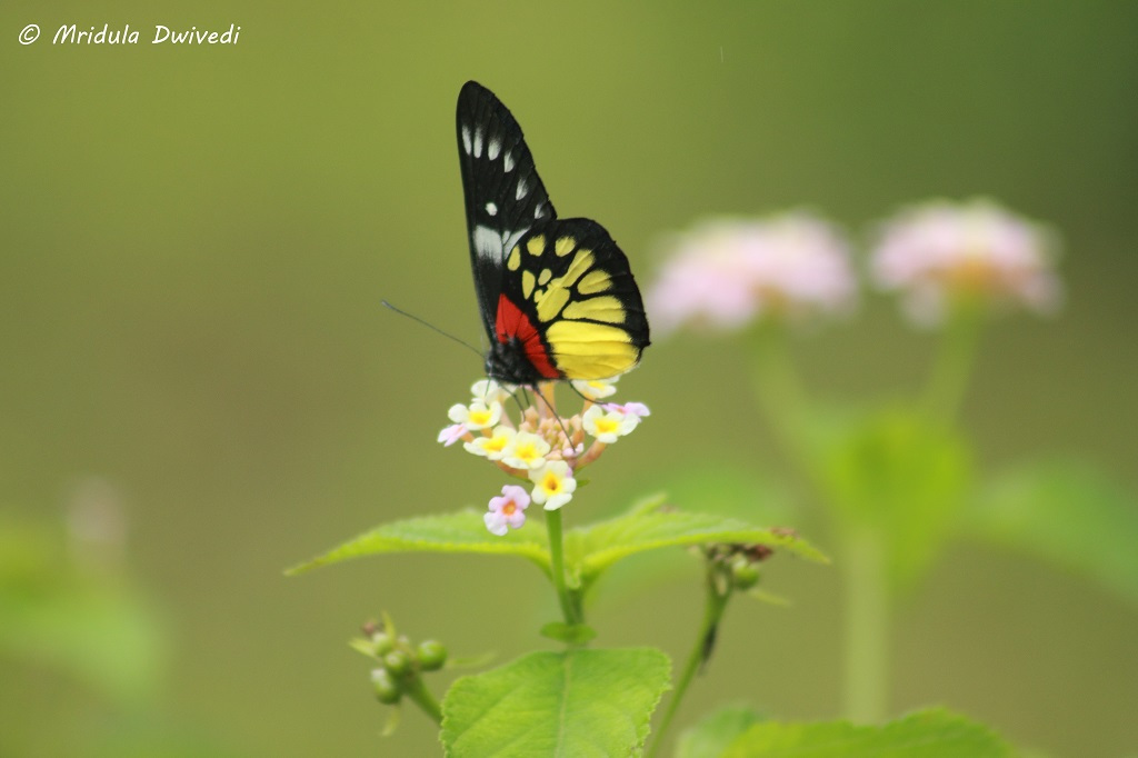 butterflies-pasighat