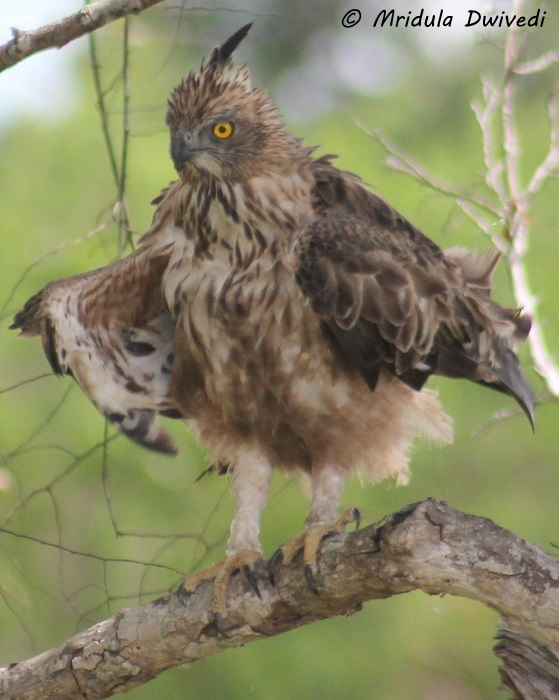 crested-hawk-eagle