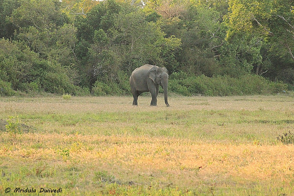 elephant-kumana-national-park