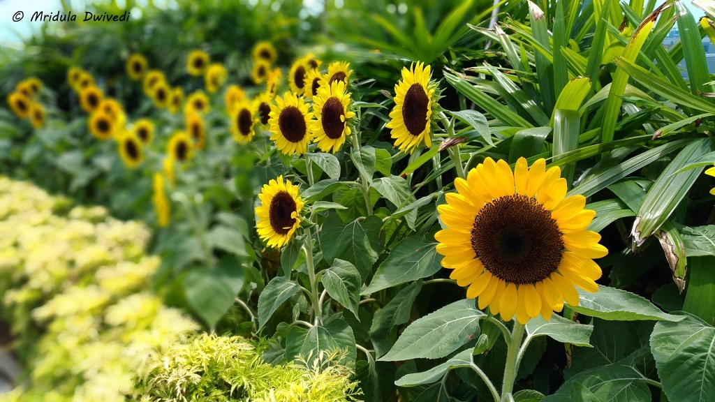 sunflower-garden-changi