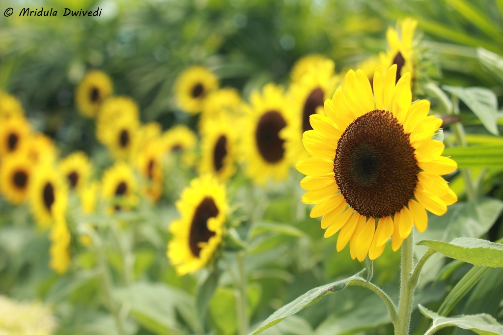 changi-sunflower-garden-t2