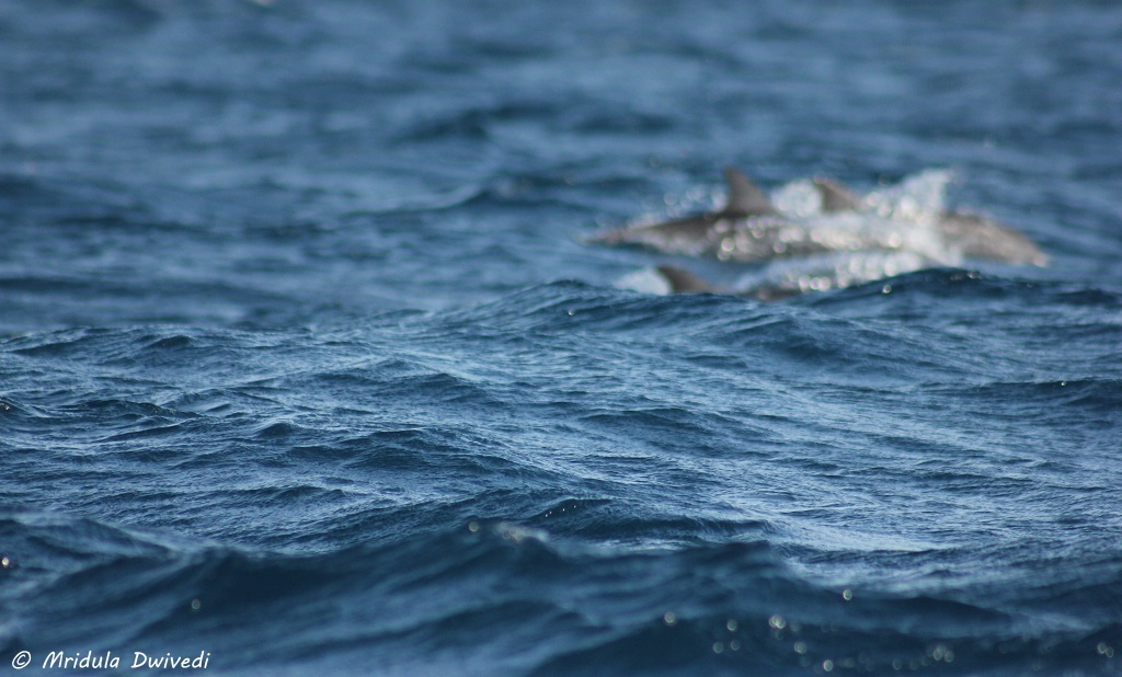 dolphins-trincomalee