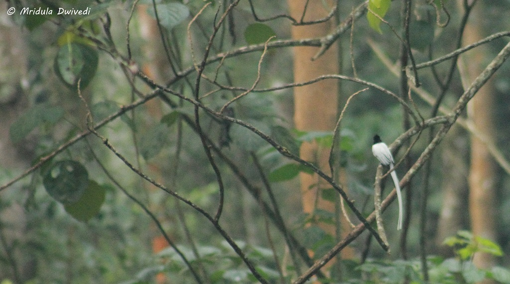 paradise-flycatcher-pepper-trail