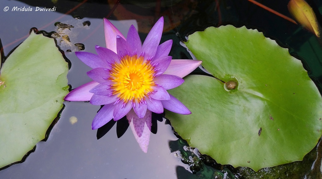 water-lily-garden-t1