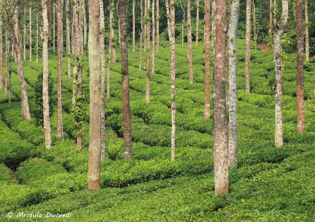 tea-plantation-wayanad