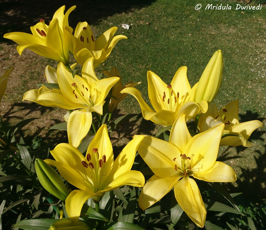 yellow-asiatic-lilies