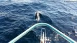 dolphins-muscat