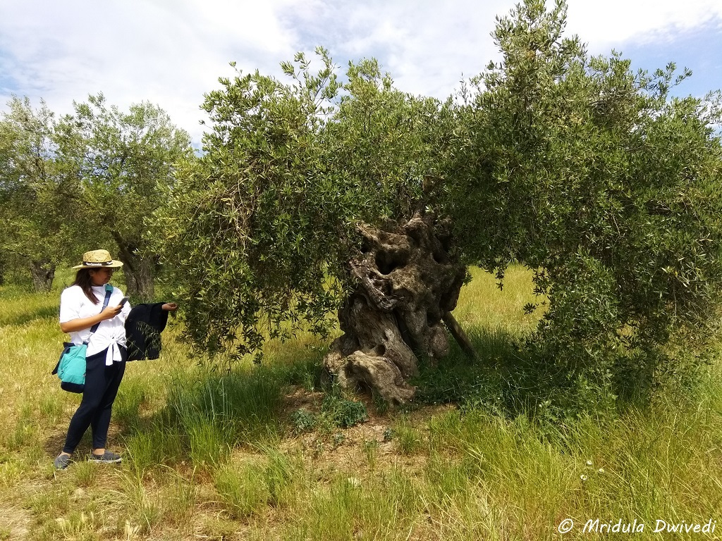 olive-tree-celler-la-vinyeta