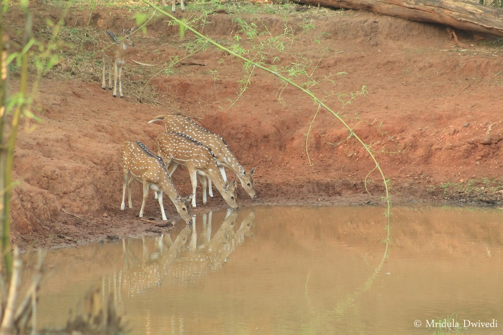 deer-drinking-water