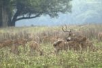deer-kanha-national-park