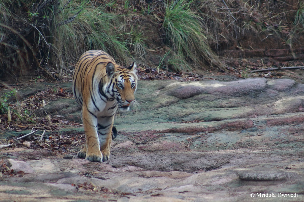 spotty-tigress-bandhavgarh