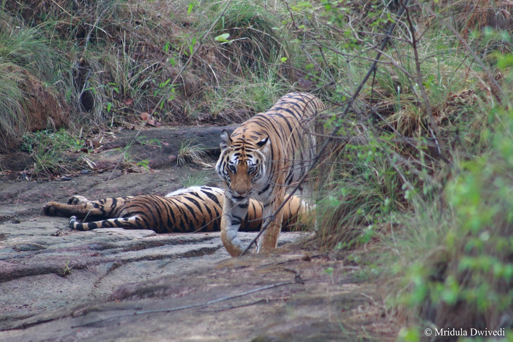 tigress-bandhavgarh