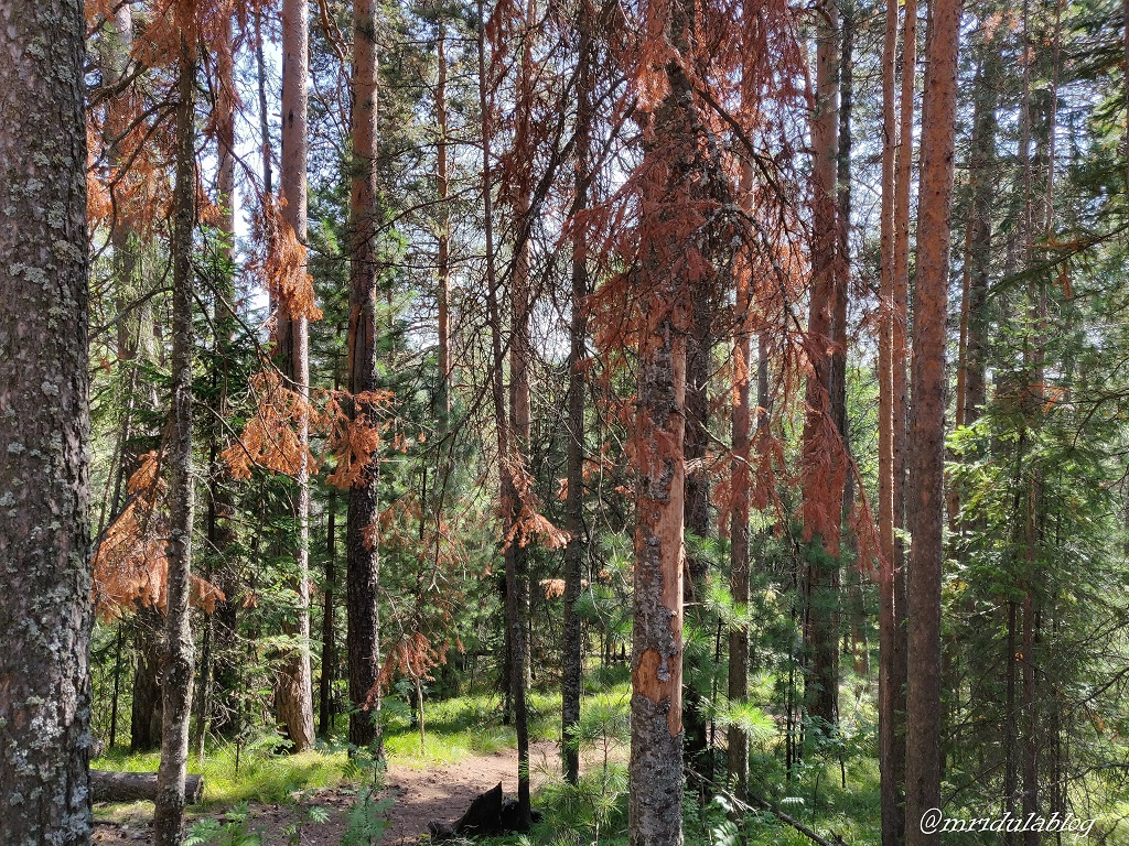 bark-beetle-pine-trees